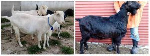 Wade's Goats